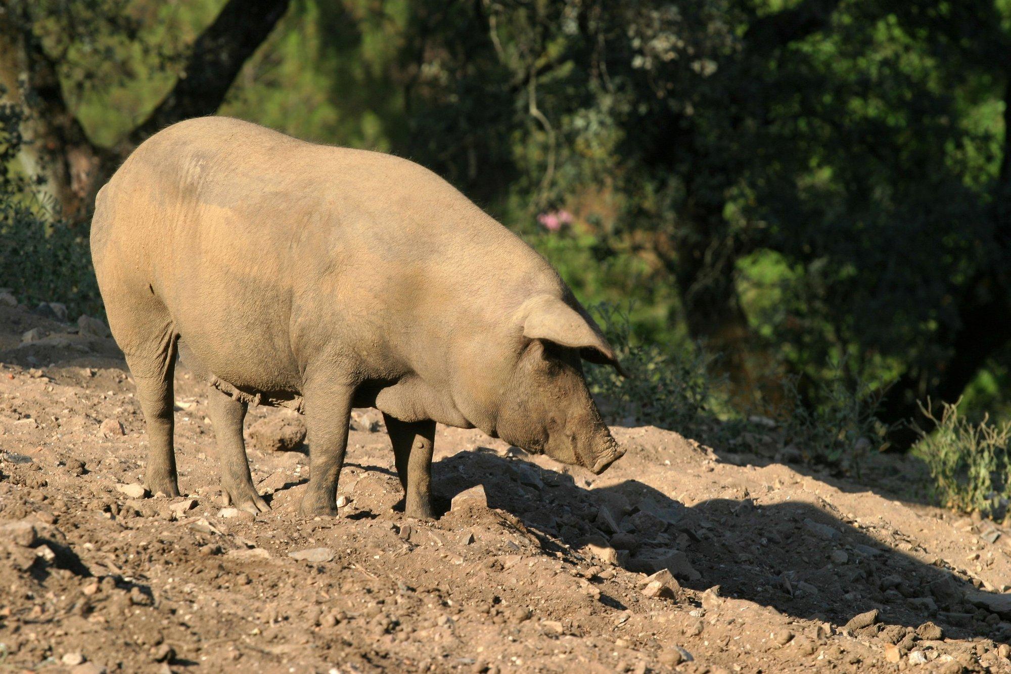 El Consejo Regulador de »Dehesa de Extremadura» establece las fechas topes de sacrificio de cerdos de bellota y recebo