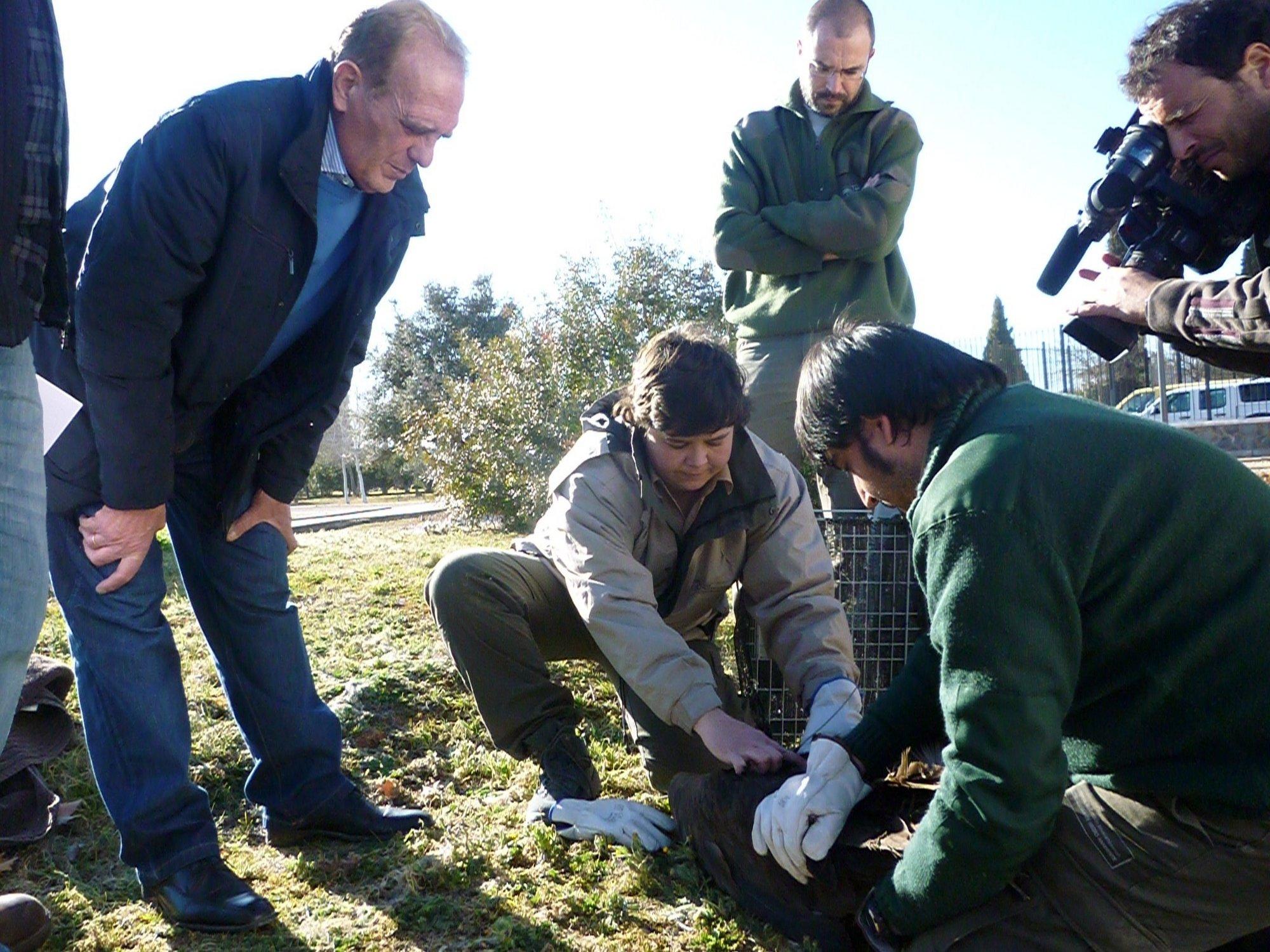 La Junta de Andalucía libera un ejemplar de buitre negro atendido en el Centro de Recuperación de Especies de Jaén