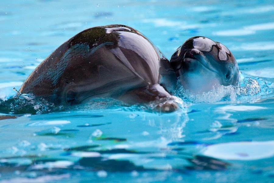 El Loro Parque (Tenerife) aumenta su familia tras el nacimiento del delfín Ilse