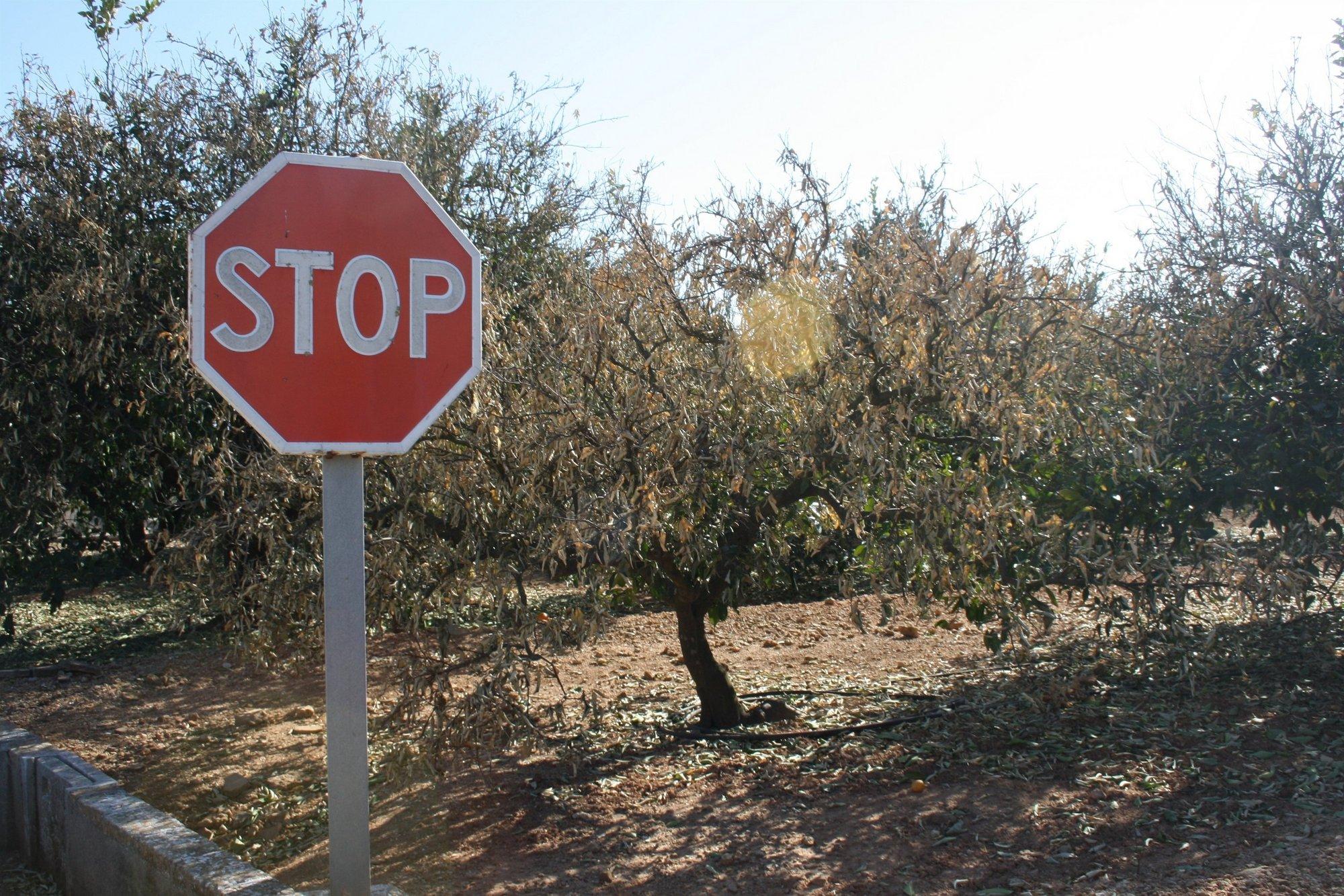 La Unió da por perdida la segunda parte de la campaña citrícola en la Ribera a causa de las heladas