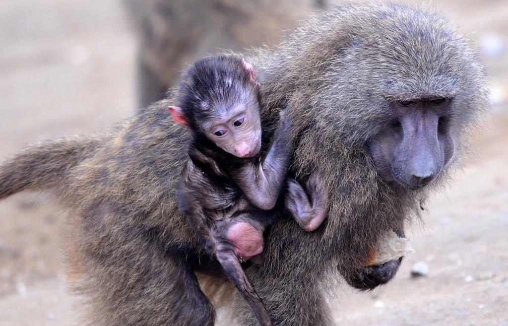 Los bebés y los monos muestran el mismo patrón de comunicación gestual