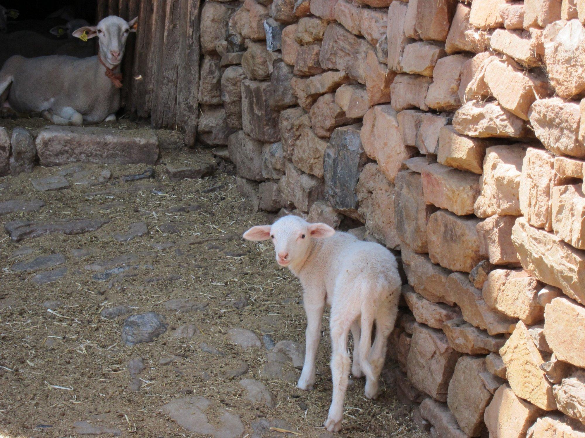 El Govern pagará la ayuda a la producción de ovino y cabruno por 800.000 euros