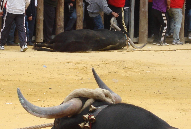 Los animalistas presentan 17 denuncias contra »correbous» celebrados en Tarragona
