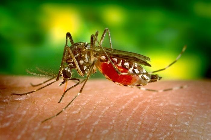 Proponen manipular genéticamente a los mosquitos para erradicar el dengue