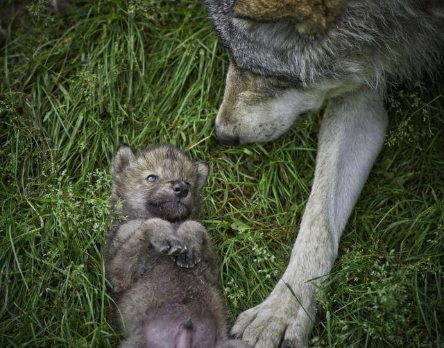 La Xunta destaca que las administraciones deben compatibilizar la conservación del lobo y la gestión territorial