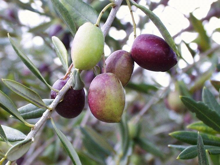 España confía en el aceite de oliva para aliviar su crisis