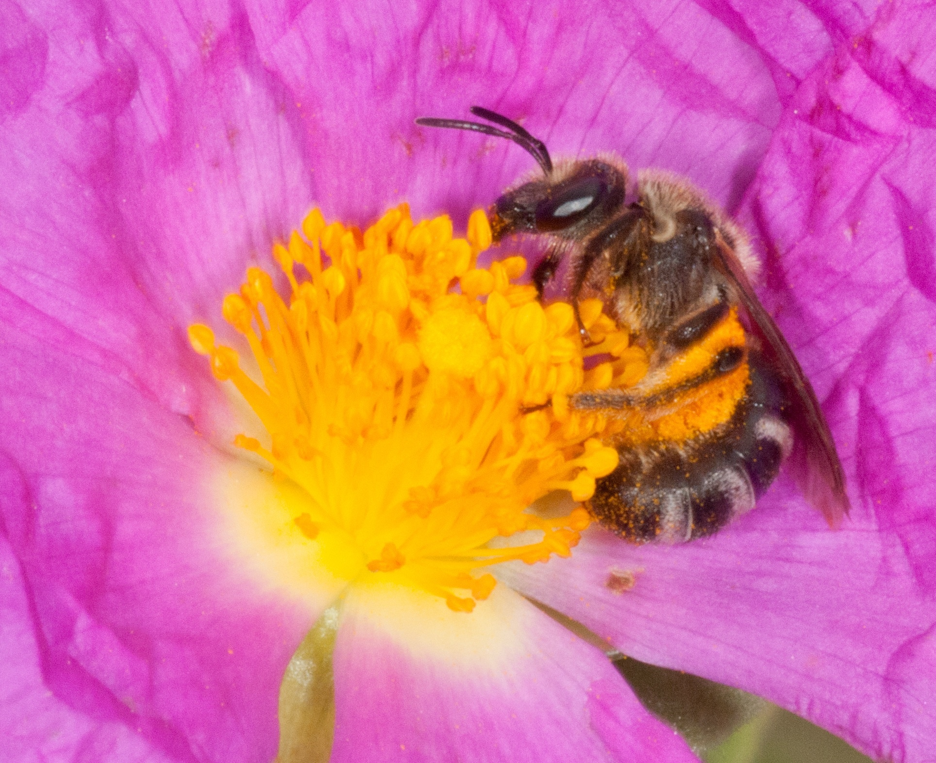 El veto a tres plaguicidas que matan a las abejas entrará en vigor el 1 de diciembre en toda la UE