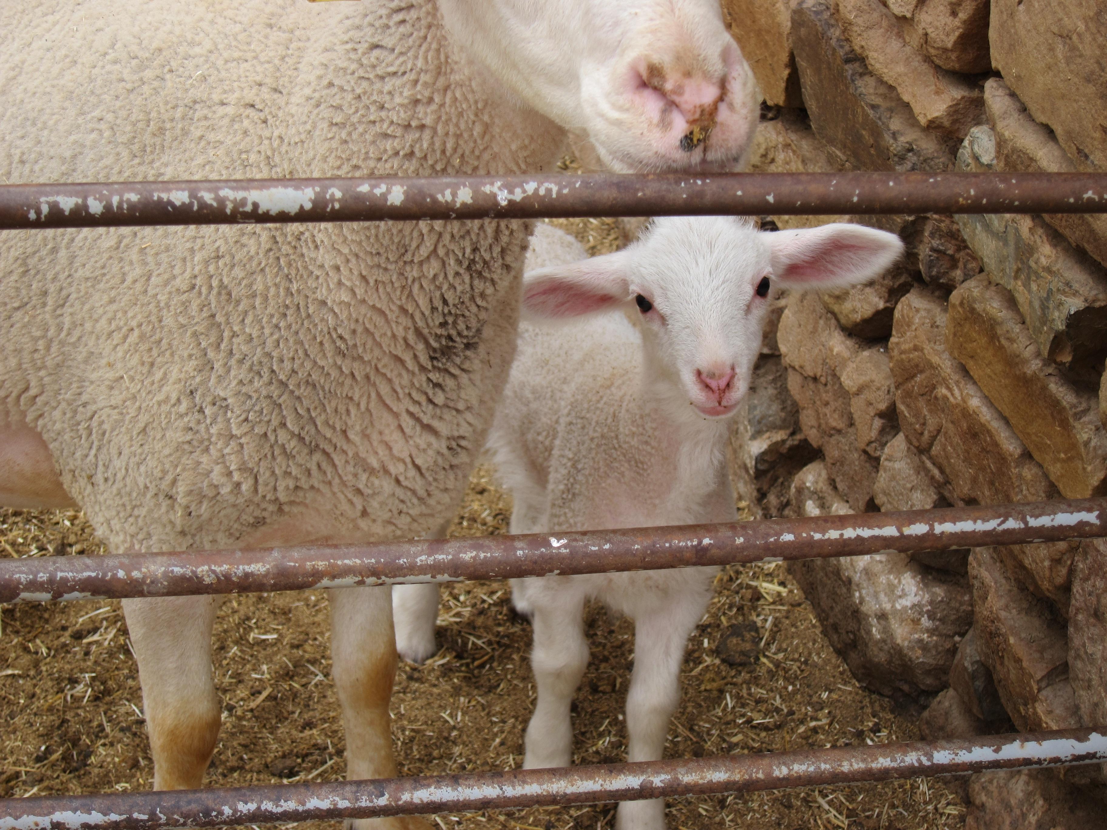 Soriano anuncia el pago de 3,7 millones en ayudas para el sector del ovino-caprino