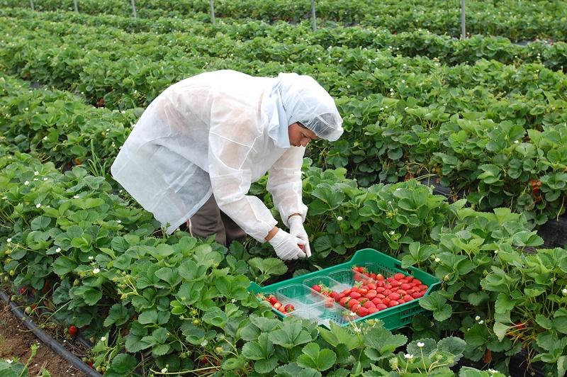 El 95 por ciento de las fresas españolas contiene pesticidas, algunos de ellos son disruptores endocrinos