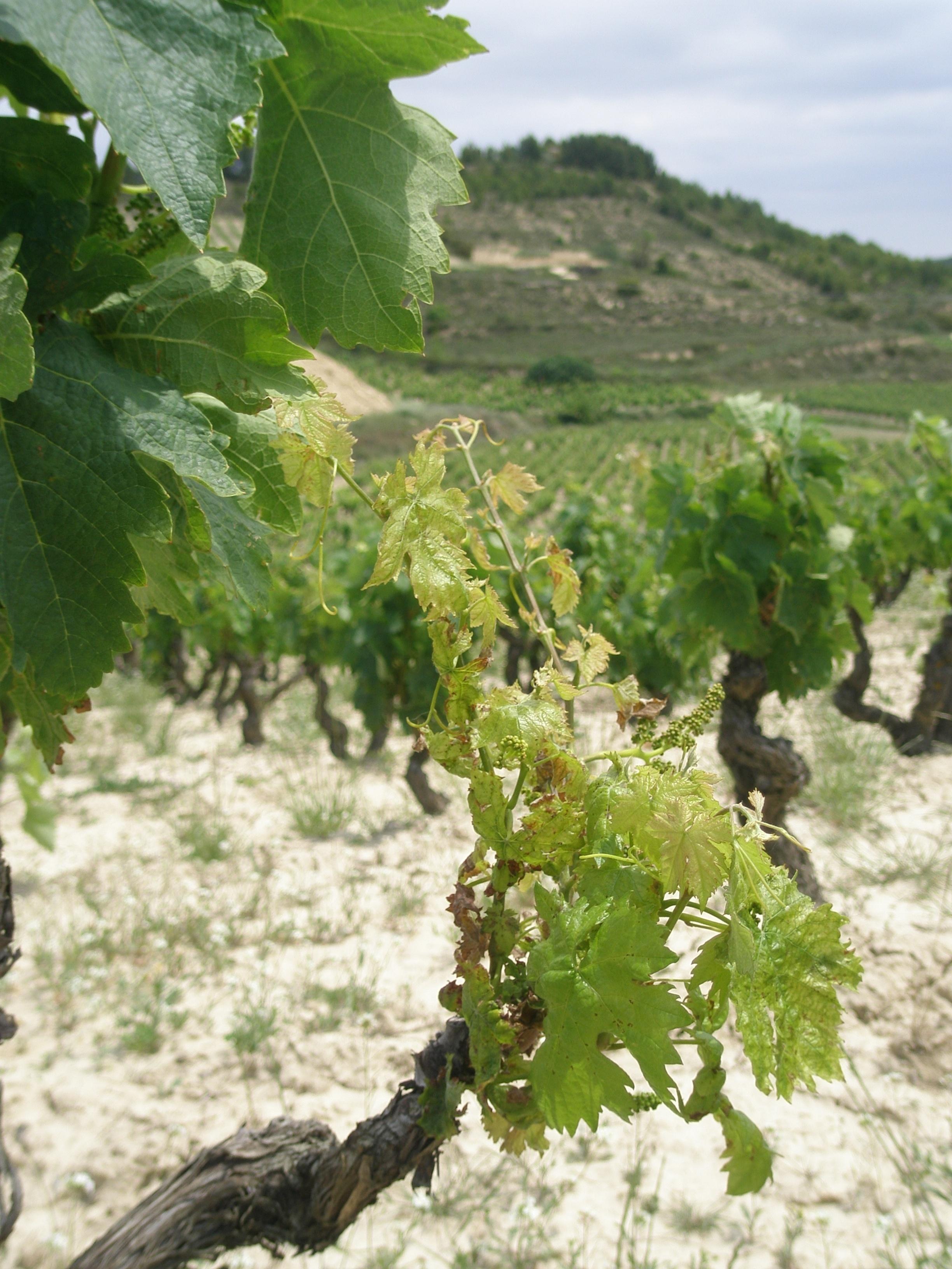 Neiker detecta por primera vez una enfermedad producida por hongos que afecta a los viñedos de la Rioja Alavesa