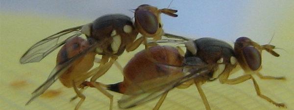 Un ejército de moscas transgénicas podrían acabar con la mosca del olivo en Tarragona