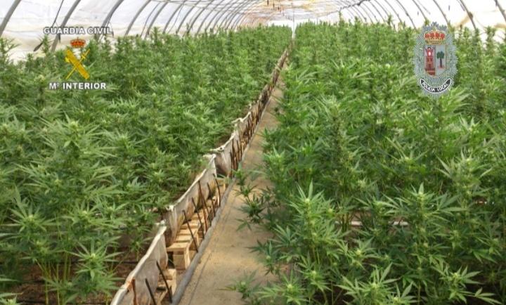 Descubierta en Murcia la mayor plantación de marihuana de España
