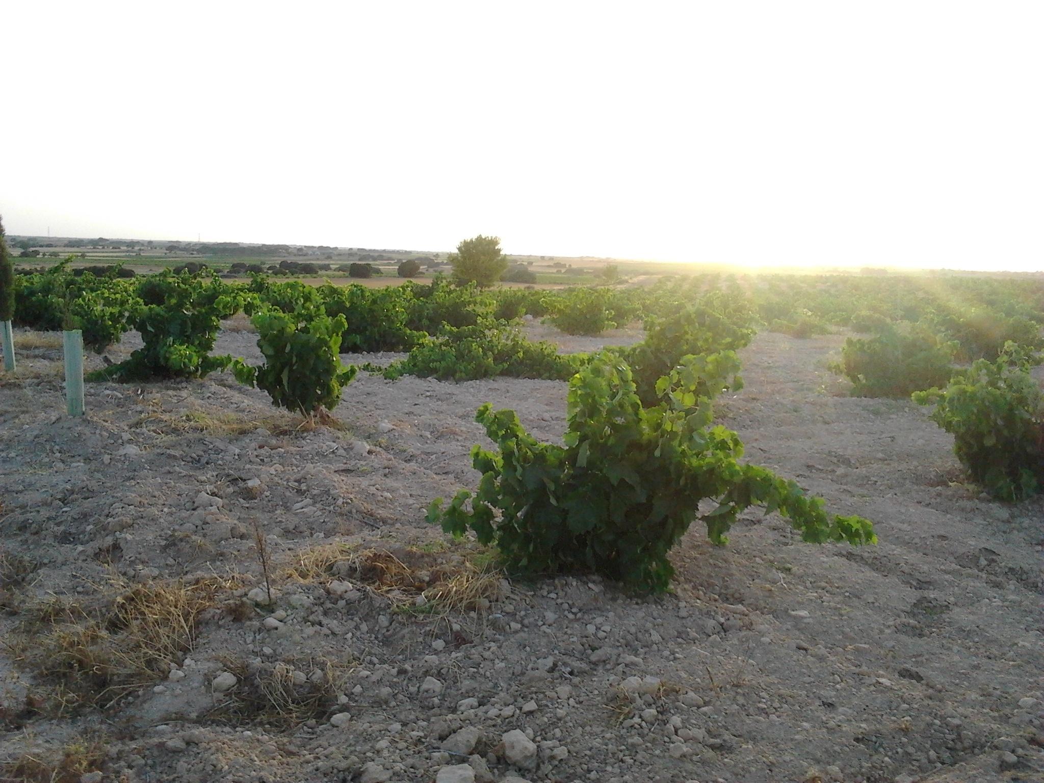 La vendimia en Montilla-Moriles llega a su ecuador con el inicio de la recolección de Pedro Ximénez