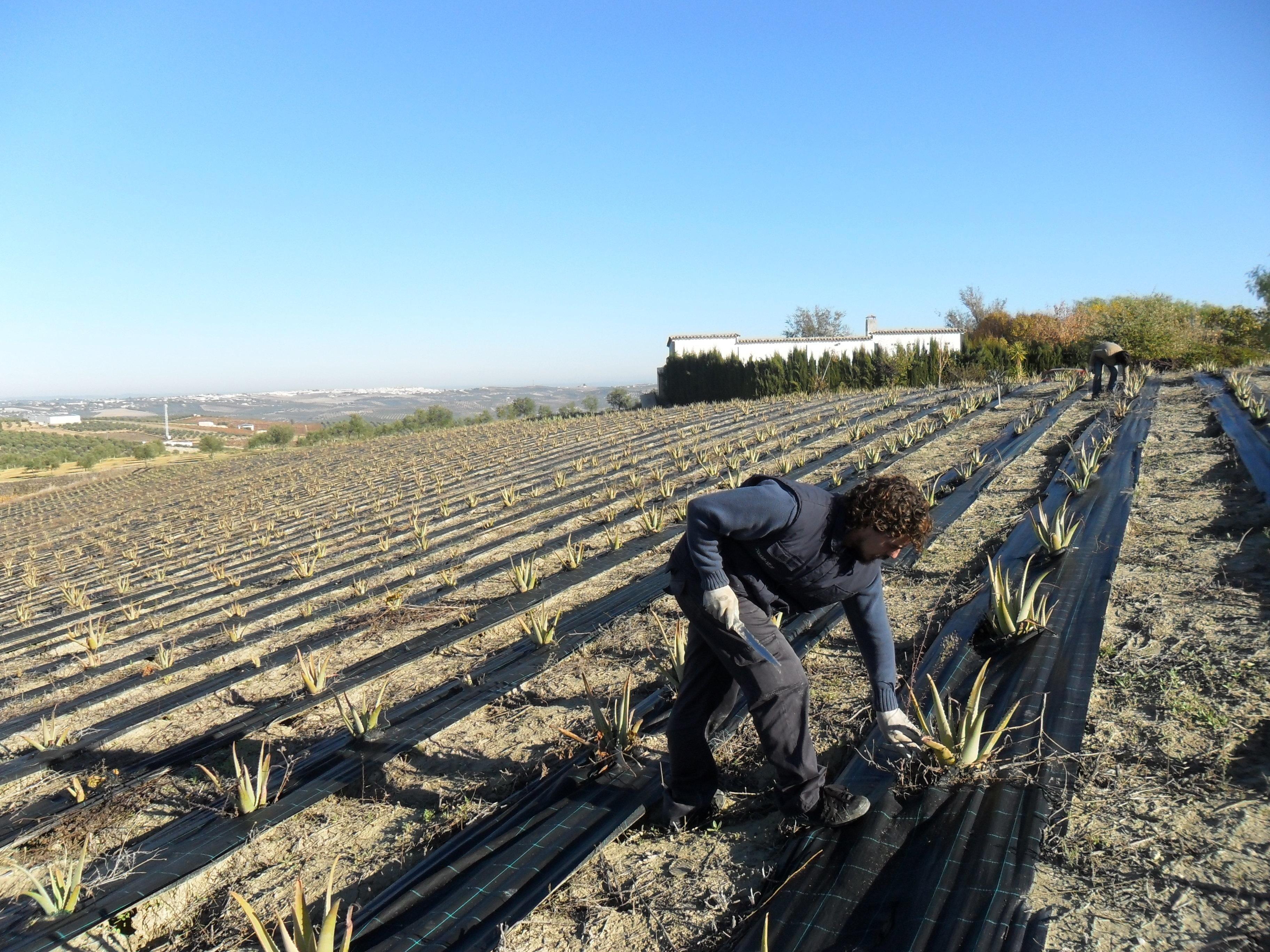 »Aloe Varo» organiza en septiembre una jornada sobre aloe vera ante el creciente interés por este cultivo