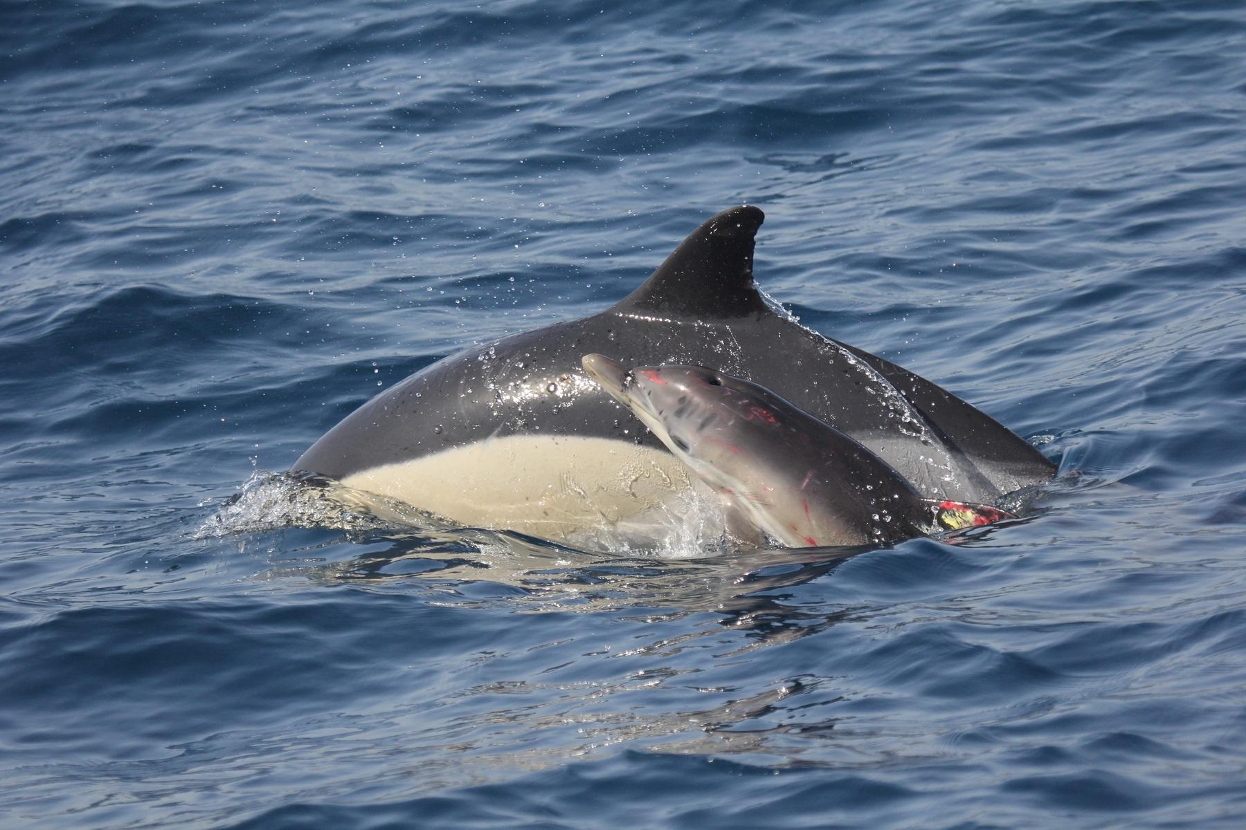 Una cría de delfín que quedó atrapada en una red de trasmallo vuelve con su madre tras su recuperación