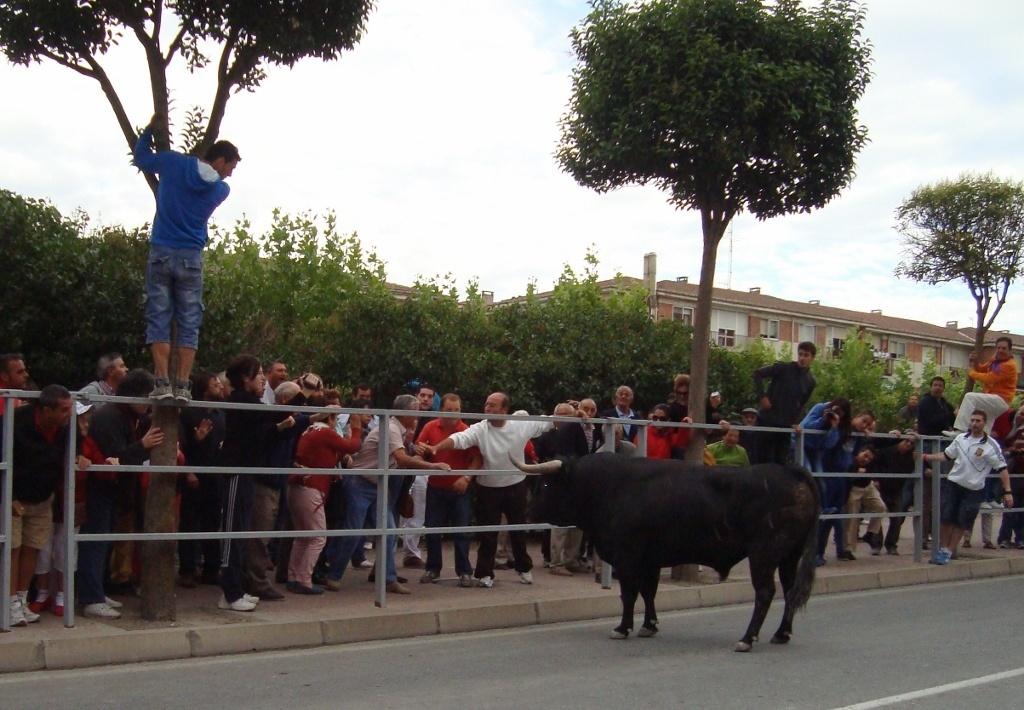 El cuarto encierro de Cuéllar (Segovia) discurre limpio pero lento en las calles con dos toros rezagados