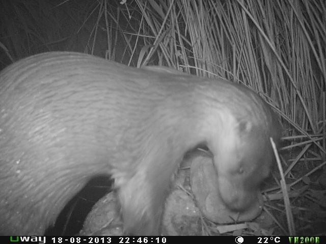 Las nutrias regresan al parque de la Serra del Montsant 25 años después de extinguirse