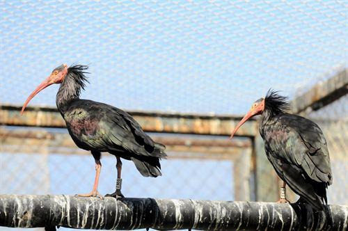 El »ibis eremita» se recupera de la extinción