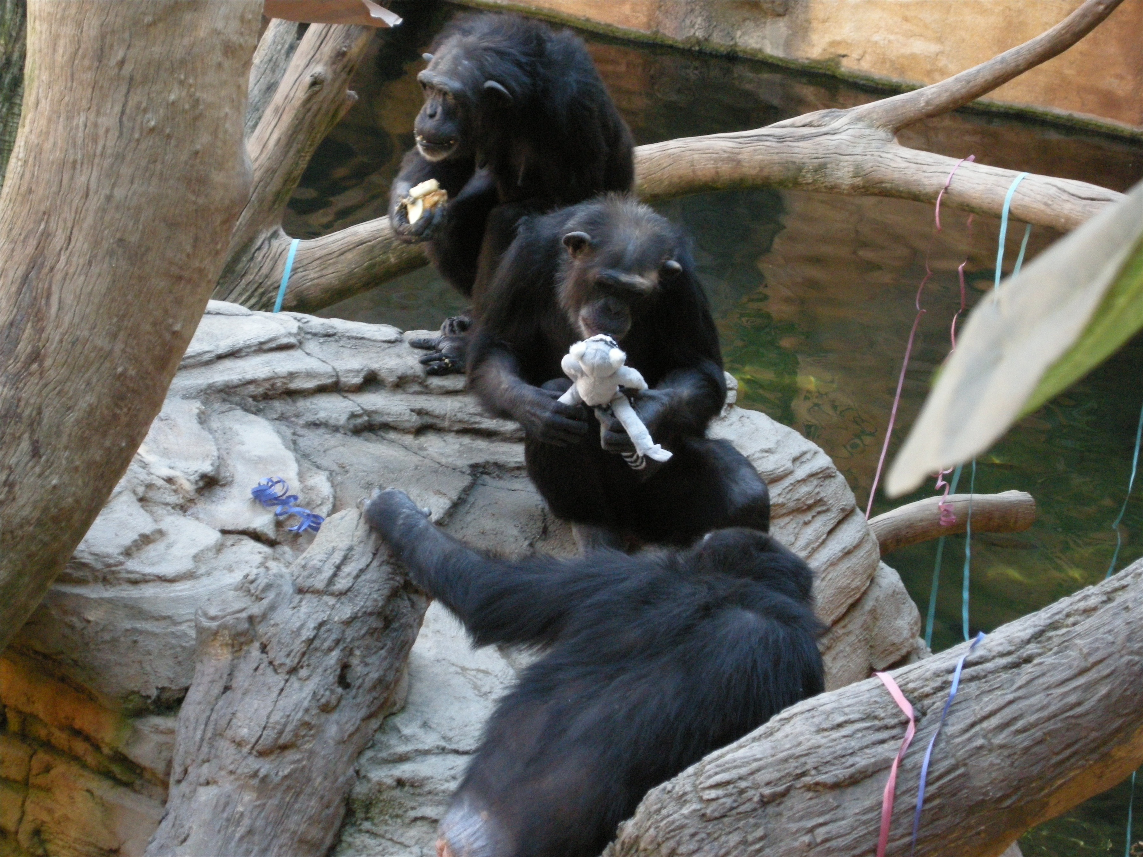 La chimpancé Noelia, de Bioparc Fuengirola, cumple seis años