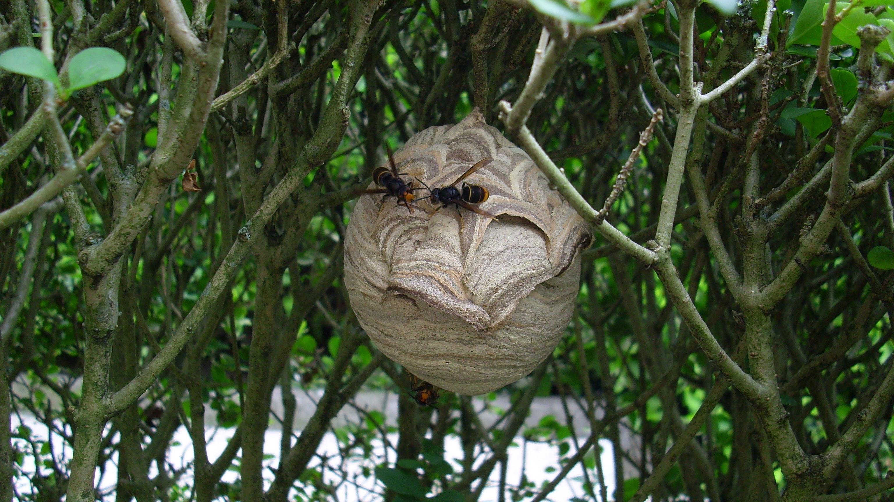 El Congreso pide al Gobierno medidas para proteger a la abeja doméstica de los ataques de las avispa asiáticas