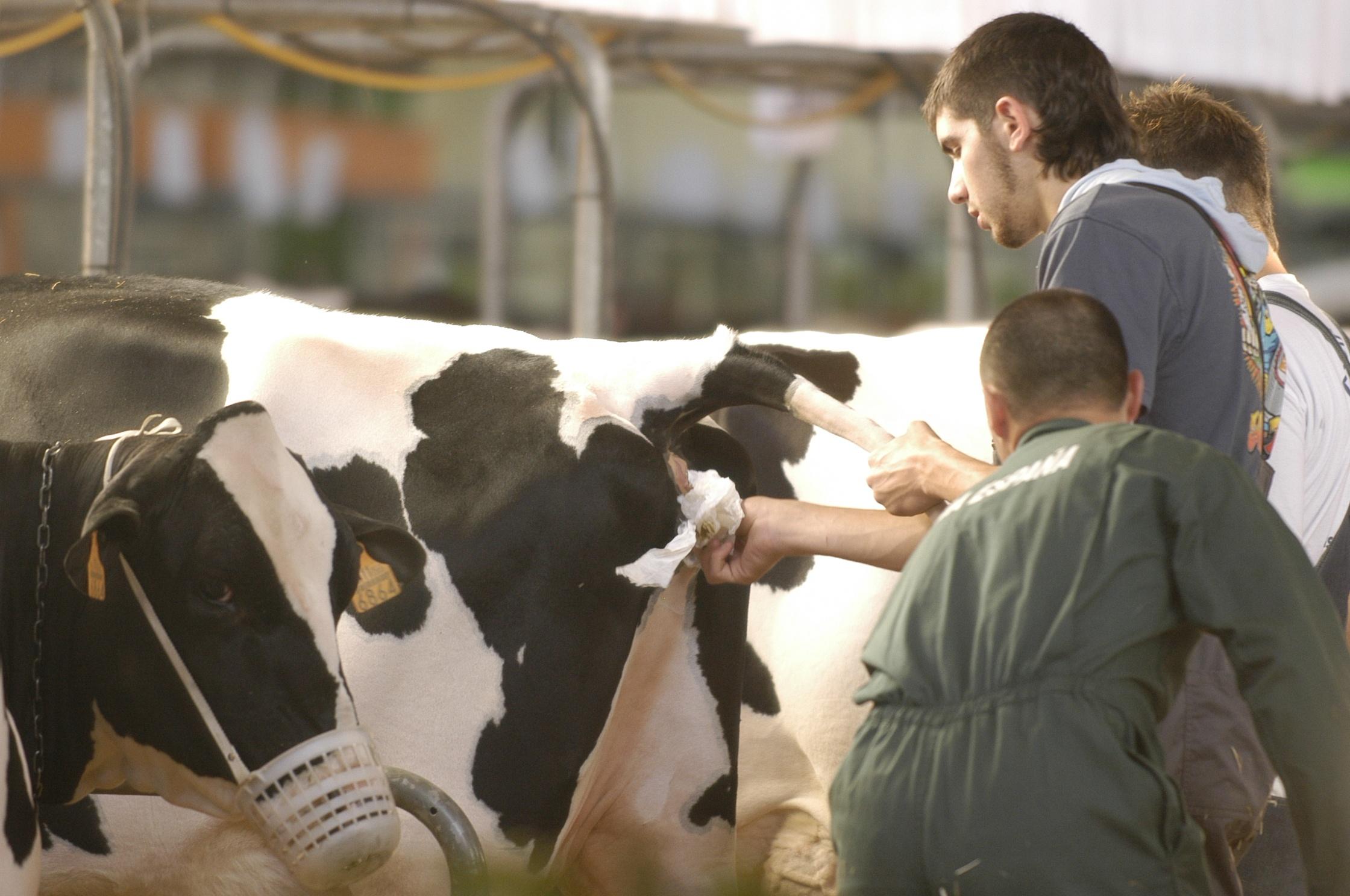 Los ganaderos eligen este sábado los Consejos Reguladores de Ternera Asturiana y Producción Agraria Ecológica