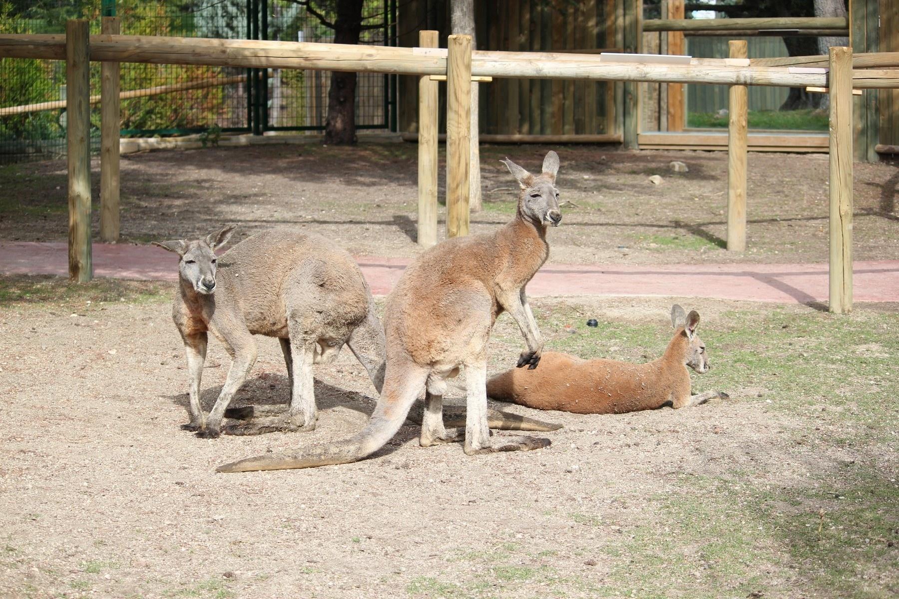 Faunia presenta al público el canguro rojo, el más grande de los marsupiales