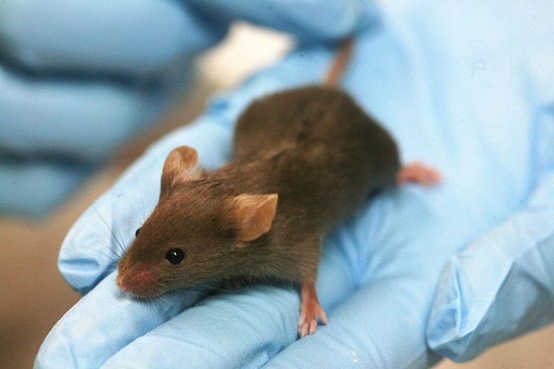Paralelismos en el procesamiento neural de «control adaptativo» de humanos y roedores