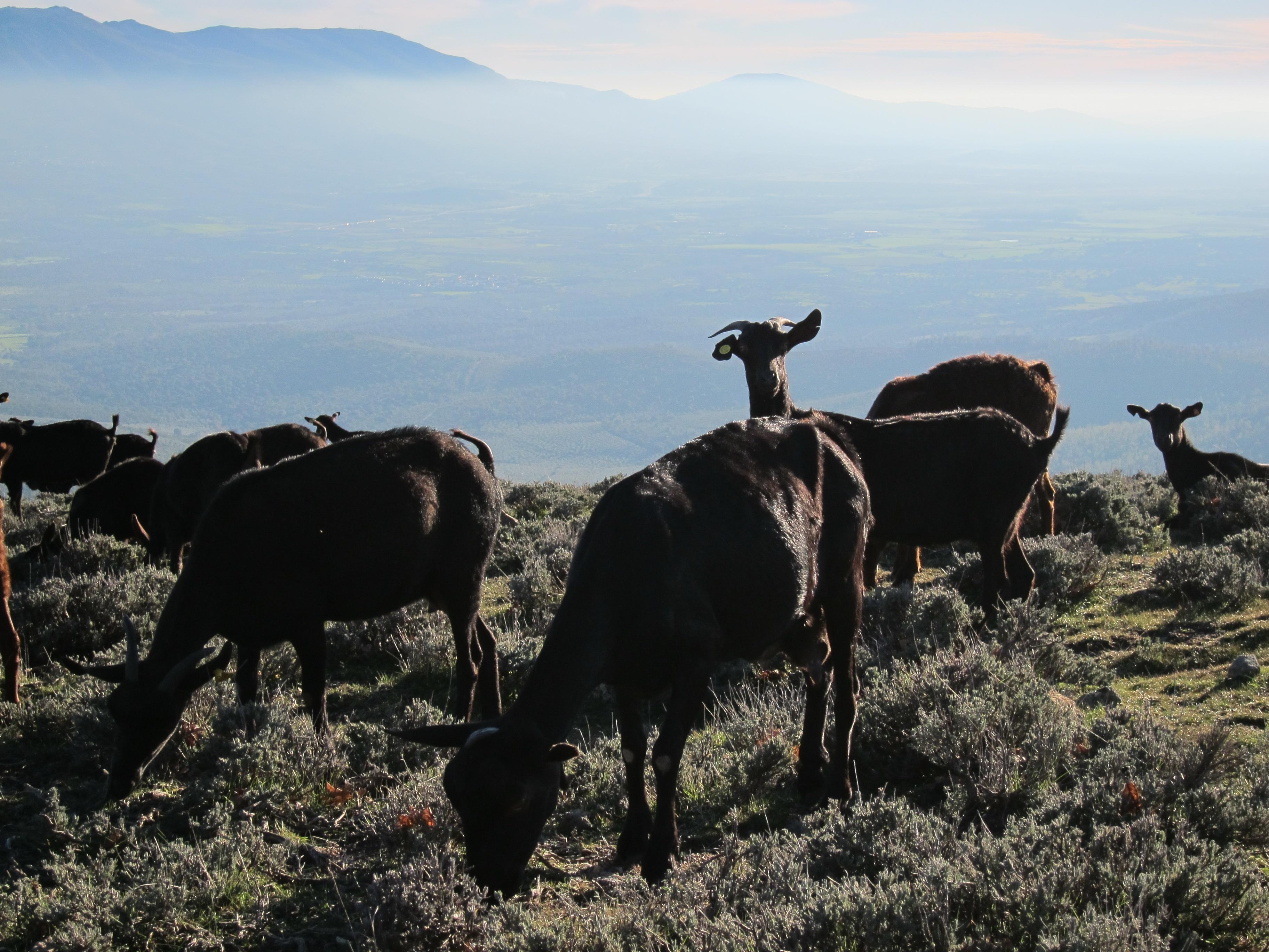Más de 1.800 cabezas de ganado se dan cita en la feria de Todos los Santos