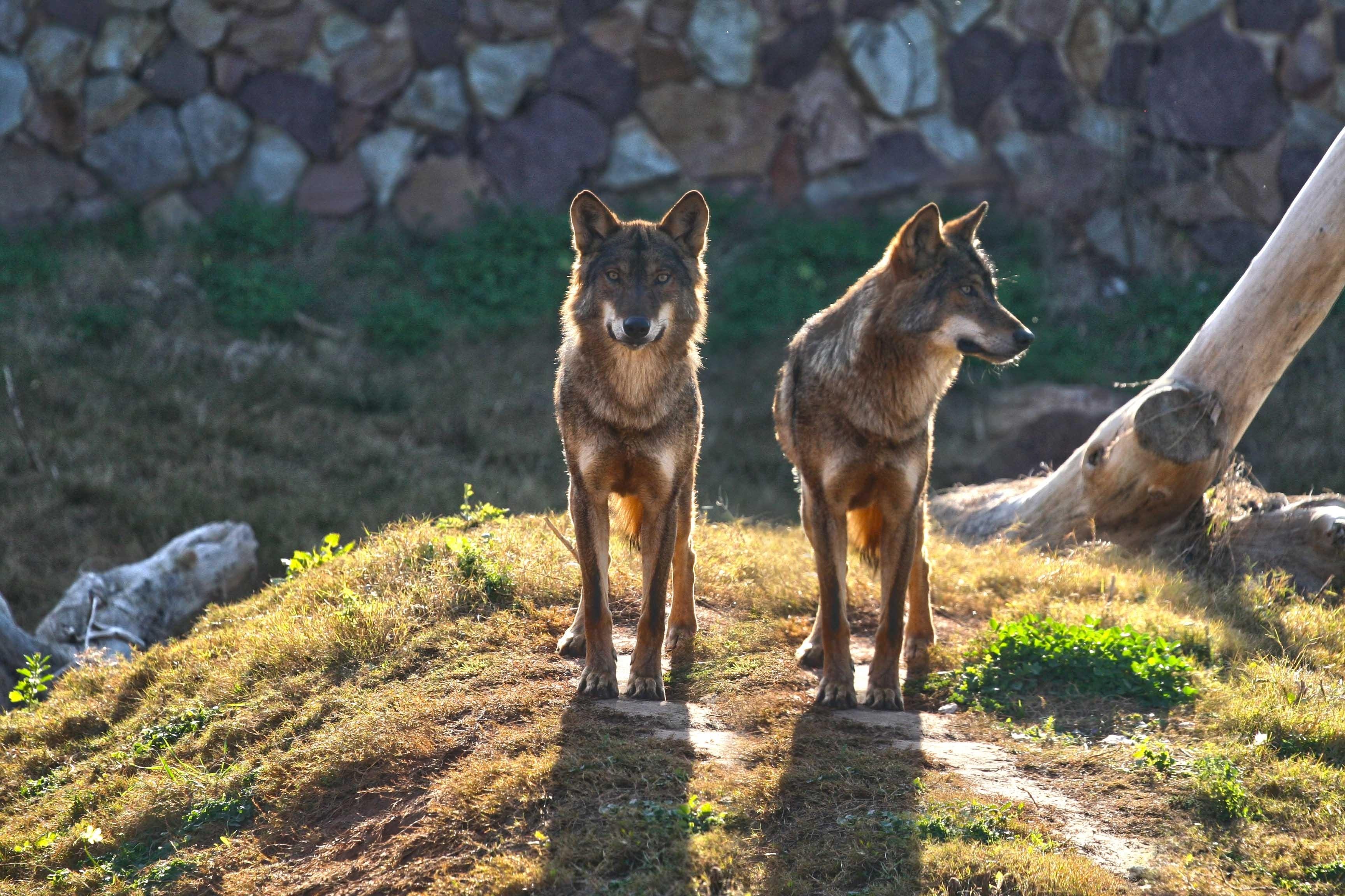 Los cachorros de lobo ibérico imponen su dominio en la manada de Terra Natura Murcia