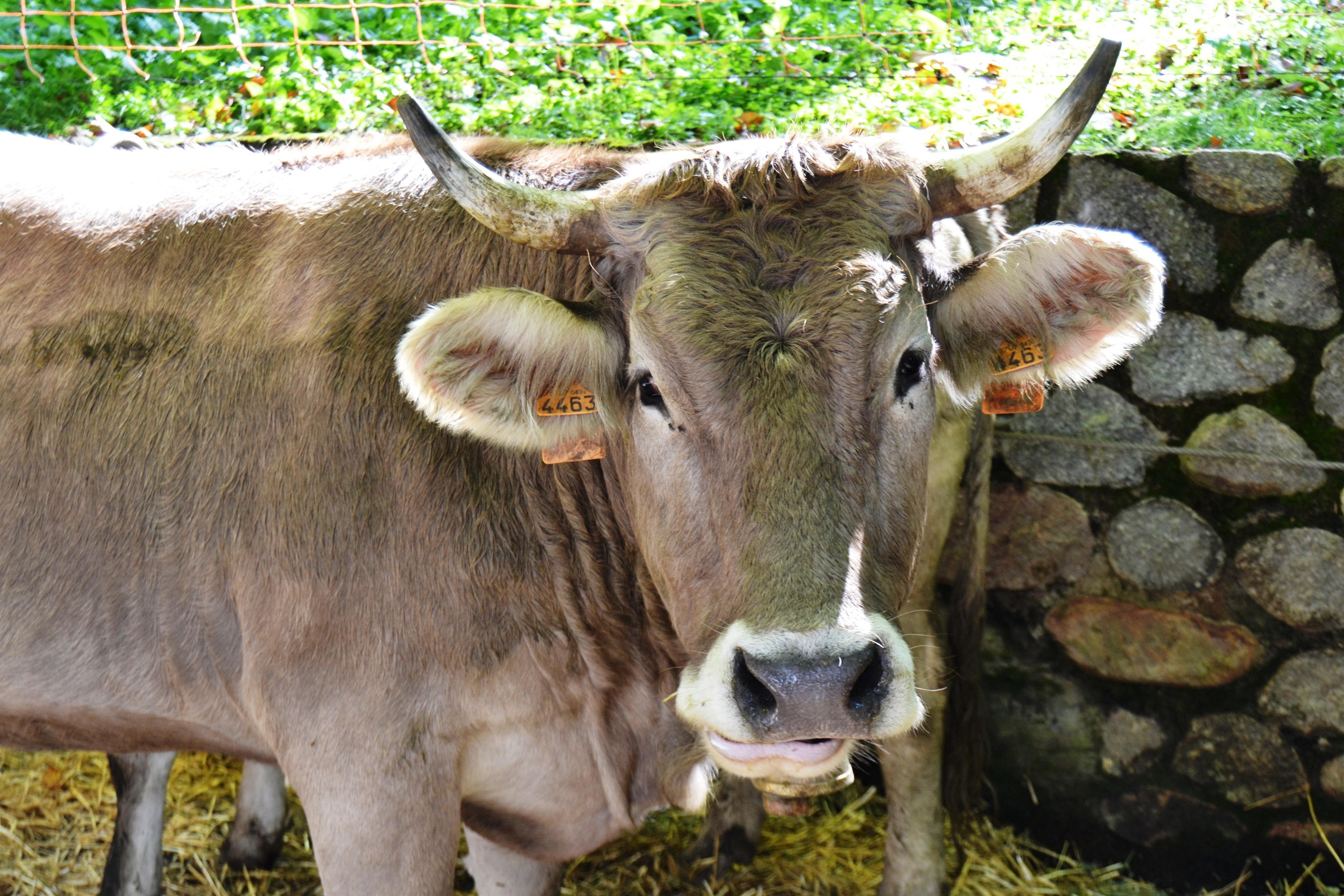 Anuncian la apertura de un laboratorio de la »vaca bruna» en la Seu d»Urgell