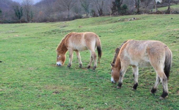 El Parque de la Prehistoria de Teverga da este sábado la bienvenida a una pareja de caballos Przewalski