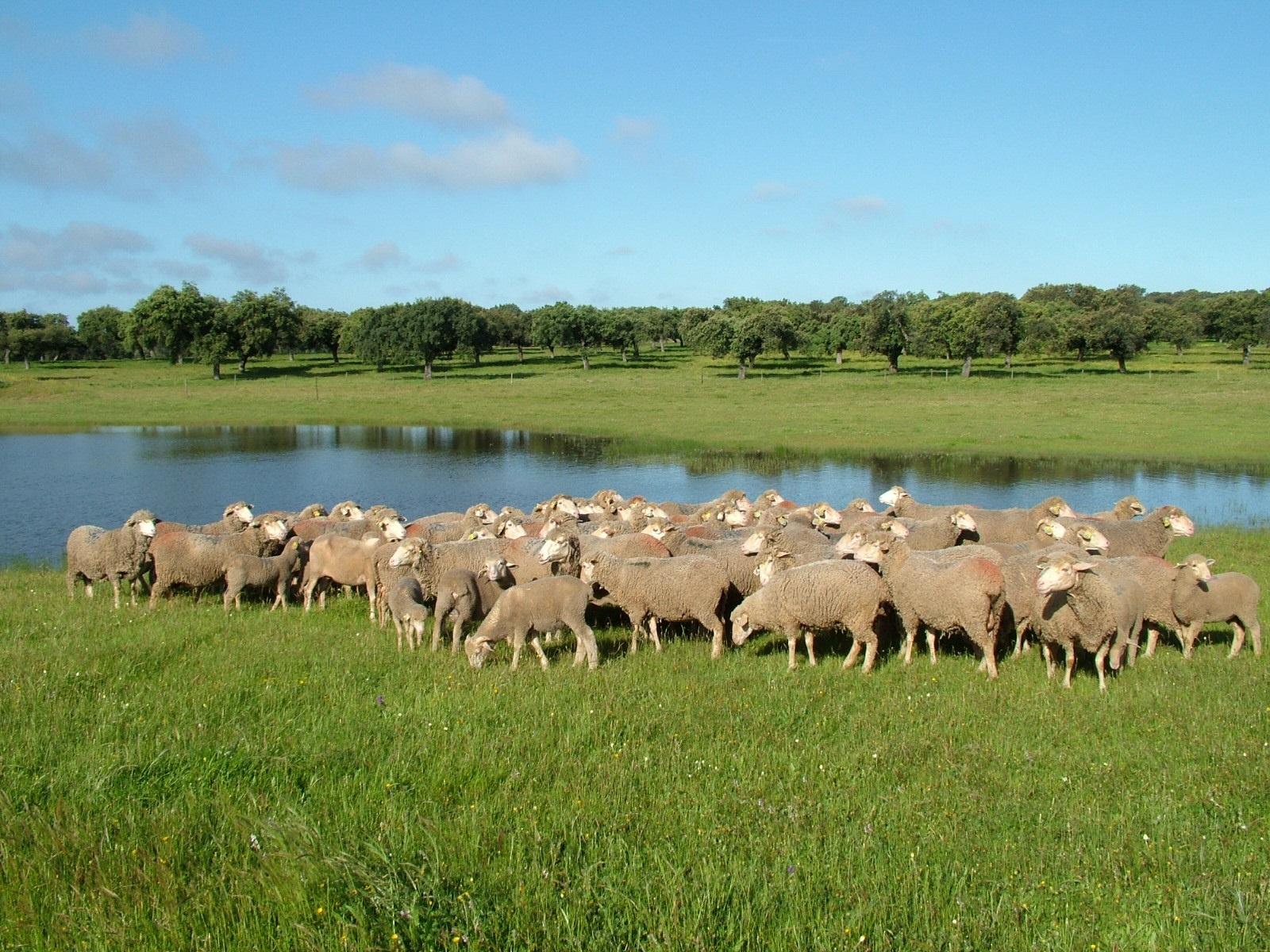 La certificación de corderos con el sello IGP Corderex aumenta un 28% en 2013