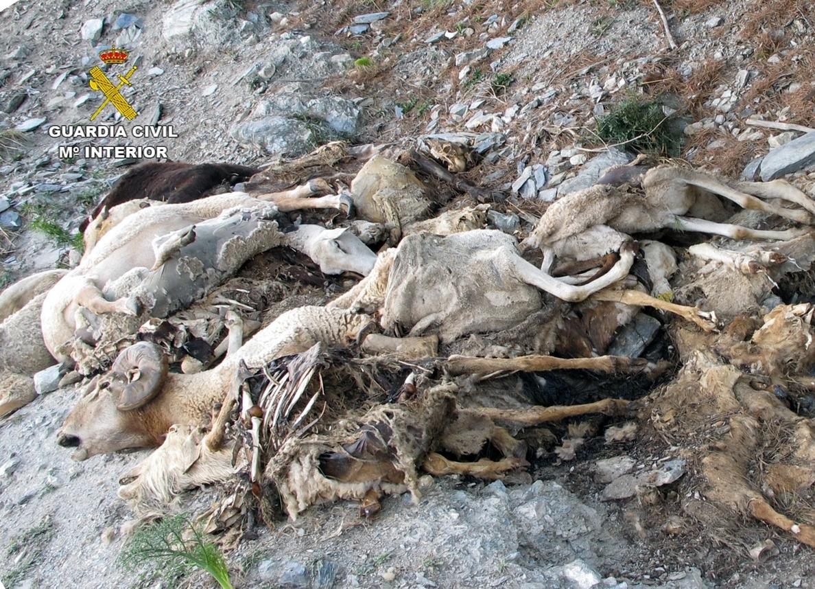 La Guardia Civil denuncia al presunto autor de verter 50 cadáveres de ovejas y cabras en un barranco de Lorca