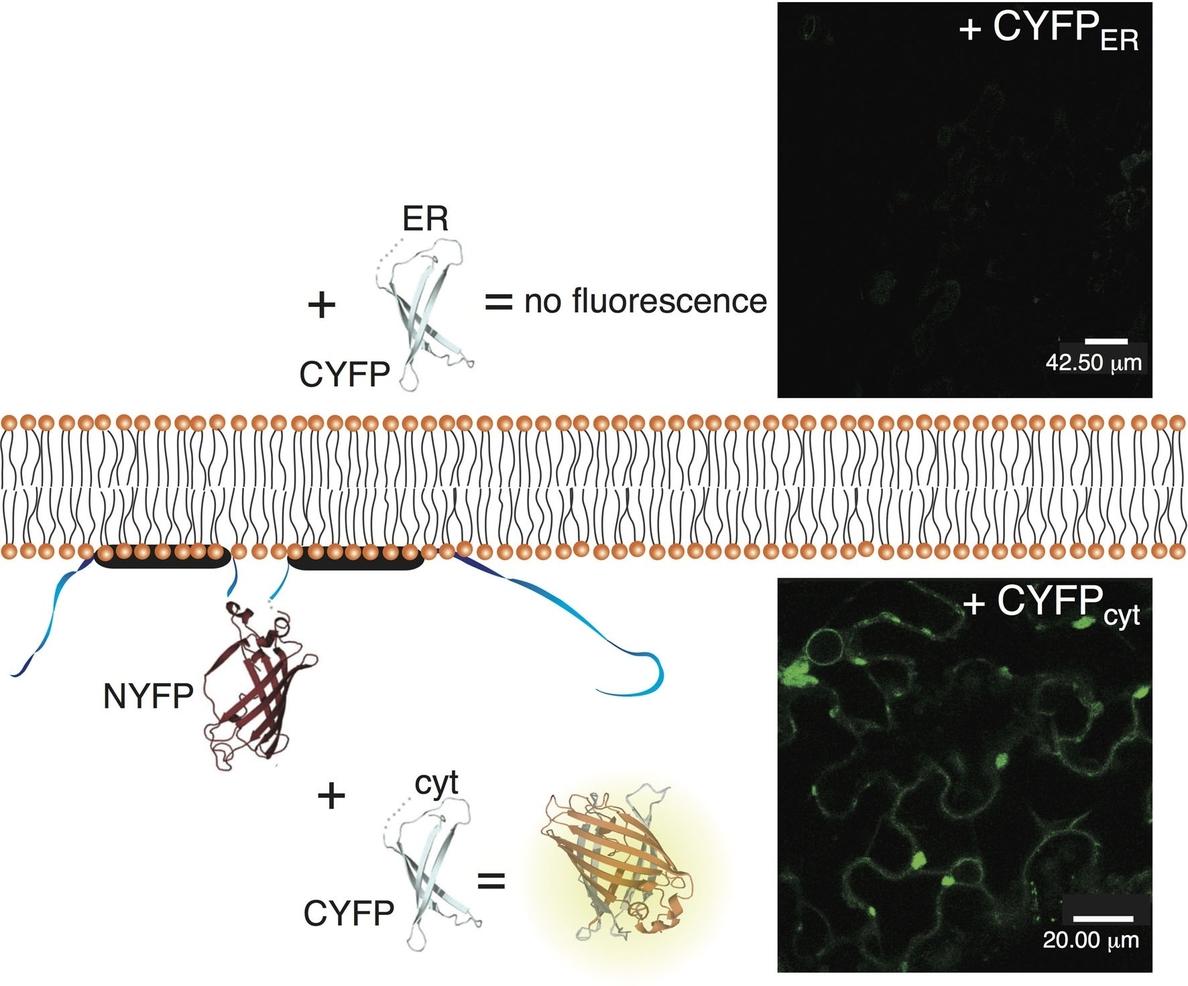 La UV descubre un nuevo modelo de transporte de virus clave para controlar la resistencia de las plantas a infecciones