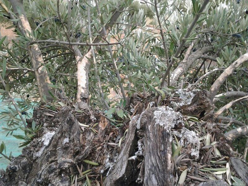 ASAJA denuncia pérdidas de hasta el 80% en explotaciones de la provincia de Cuenca a causa de una plaga de conejos