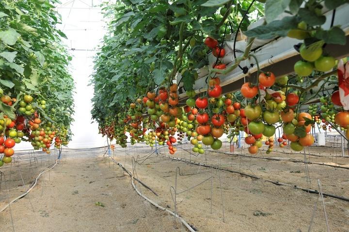 La cosecha de tomate en la Región de Murcia aumenta en 2013 un 3,3 por ciento respecto a la campaña anterior