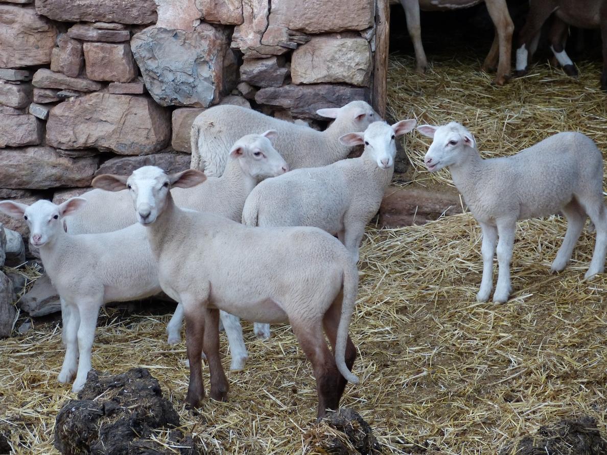 ANDA reclama a la UE que el etiquetado de la carne especifique si el animal ha sido aturdido antes de ser sacrificado