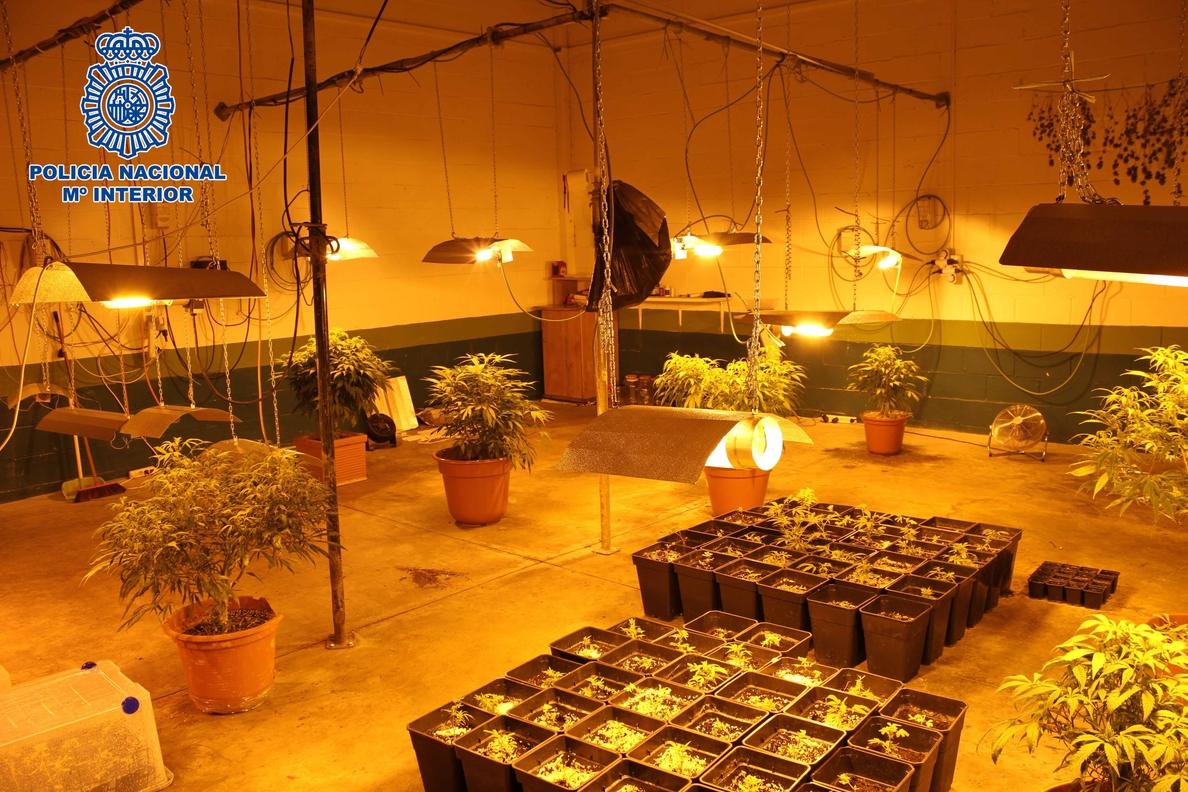 Detenidos en Alcalá dos jóvenes en una operación donde la Policía se ha incautado 338 plantas de marihuana