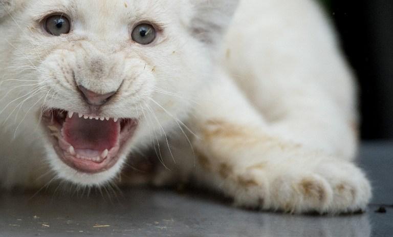 El zoo de Copenhague vuelve a matar a cuatro leones