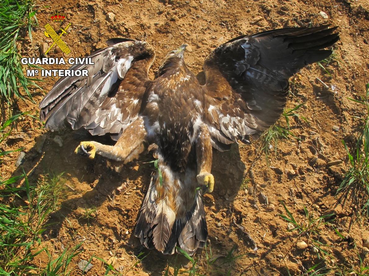 Hallan nueve aves rapaces y un córvido muertos por la acción de cebos envenenados en cotos de Zamora