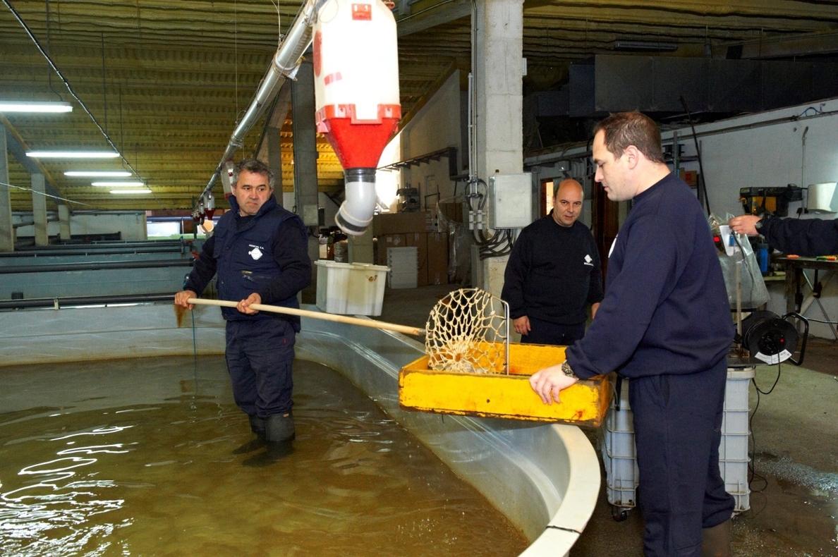 CDTI financiará con 200.000 € el cultivo industrial de erizos de mar y corvina en estanque en una planta de rodaballos