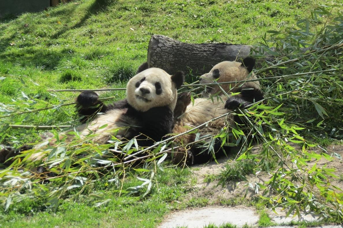 Zoo Aquarium de Madrid presentará este miércoles en pradera a Xing Bao, la cuarta cría de oso panda gigante