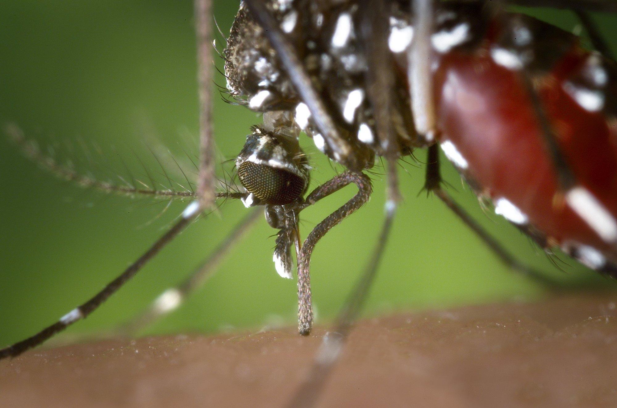OX513A, el »supermosquito» que ayudará a frenar la propagación del dengue