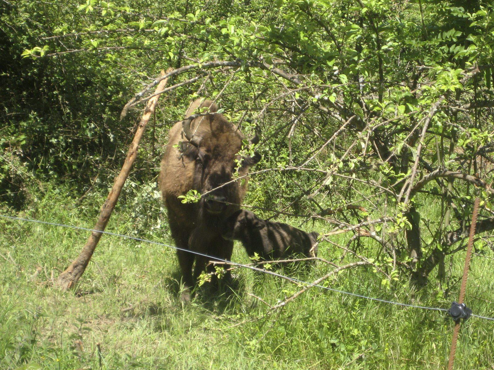 Nace el primer bisonte de origen europeo en Asturias después de 10.000 años