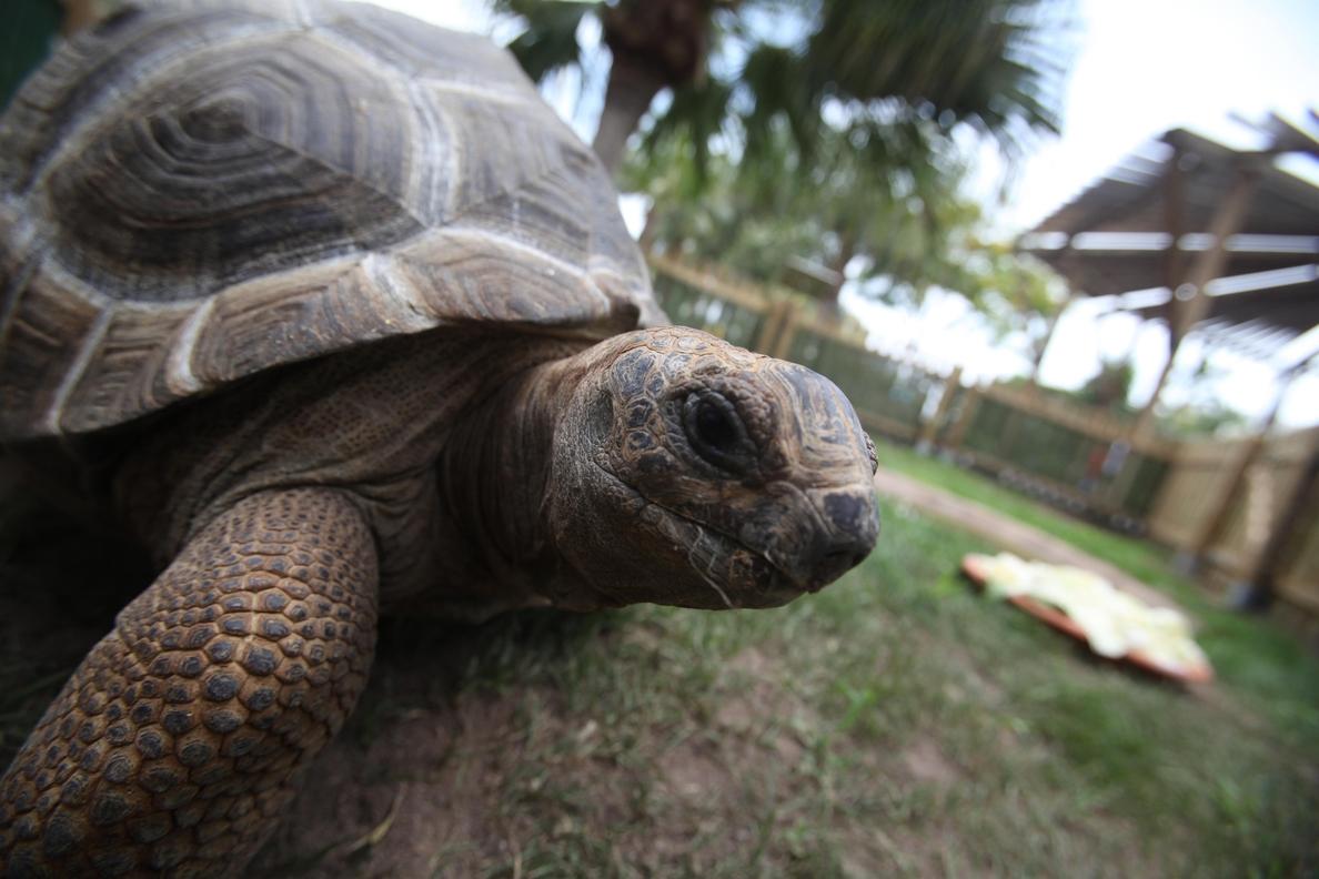 Las dos tortugas gigantes de Aldabra salen de nuevo a la exhibición exterior del Oceanogràfic tras la cuarentena