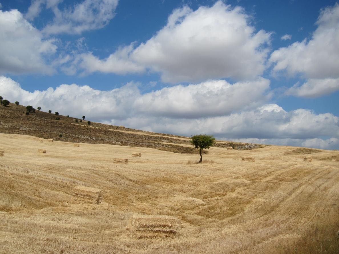 UCCL aboga por aprovechar para el ganado las parcelas de cereal, proteaginosas y leguminosas afectadas por la sequía