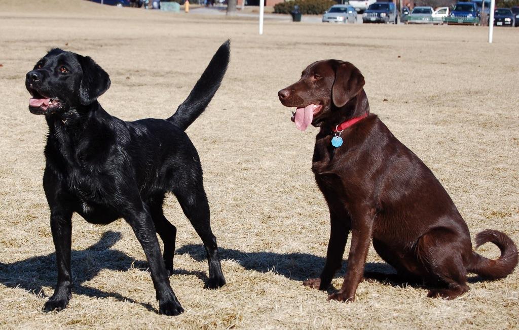Ruby, la labradora alérgica a ser perro