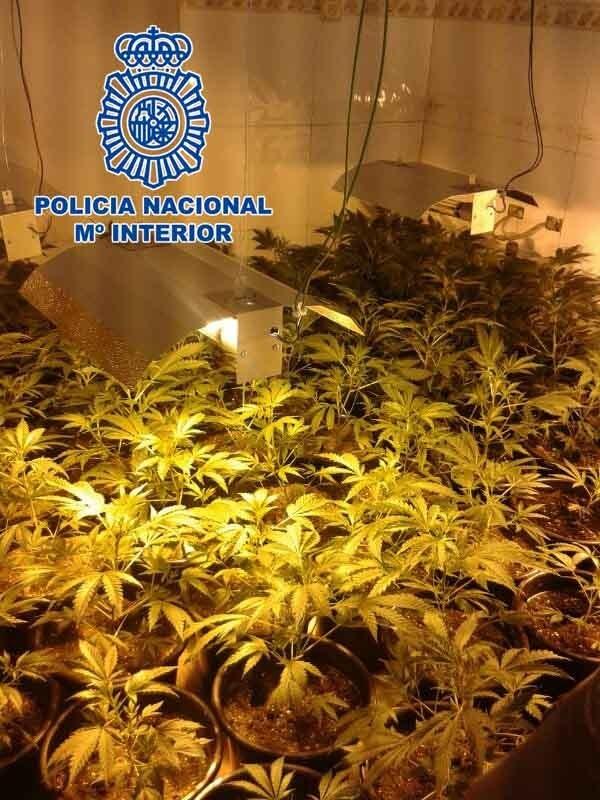 Desmantelada una plantación de marihuana con 405 plantas instalada en dos habitaciones de un chalet