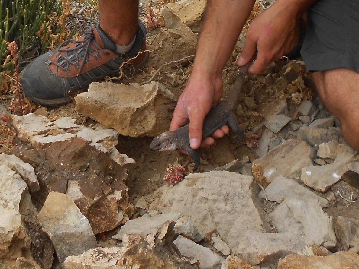 Más de 130 lagartos gigantes de La Gomera se adaptan a su nuevo hábitat