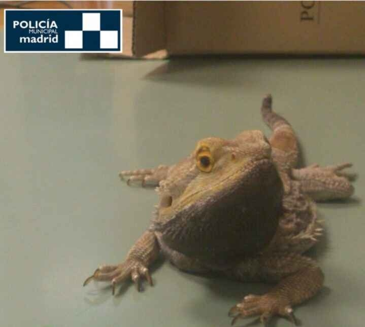 Policía Municipal rescata un dragón barbudo herido en la vía pública